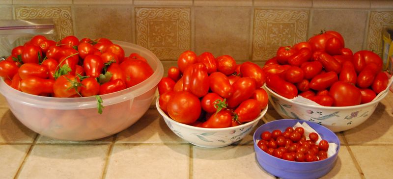 Tomatoes in August